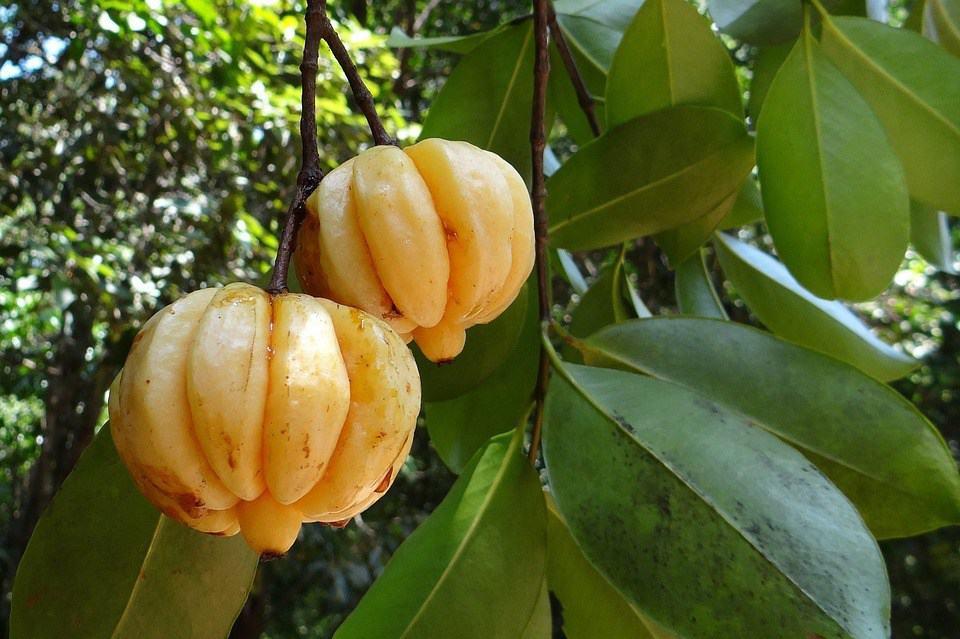 Garcinia Cambogia Fruit - Effective Weight-Loss